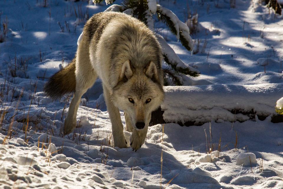 Yellowstone Wolf, free, predator, wild, Wolf, wolves, Yellowstone, pack, reintroduction, hunter, hunting, kill, jess lee, wildlife photographer, National Geographic, great, legendary photographer, bes