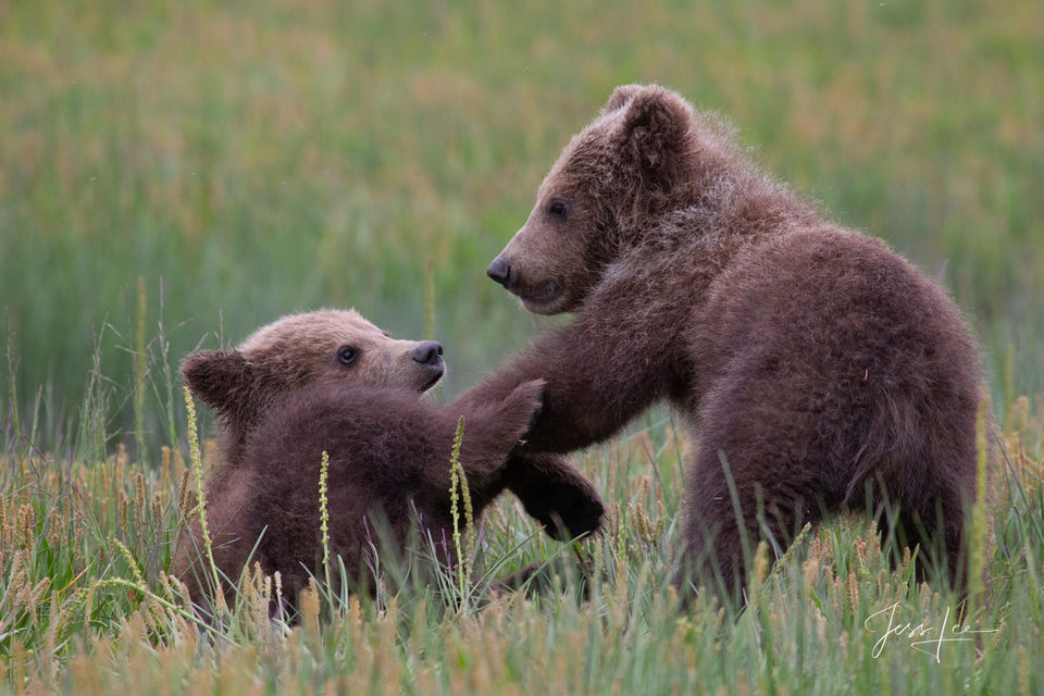 Grizzly/Brown Bear Cubs play fighting pictures