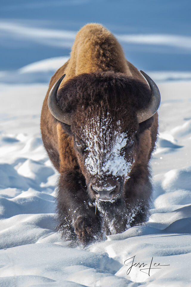 Bison Charging in snow with frosty face