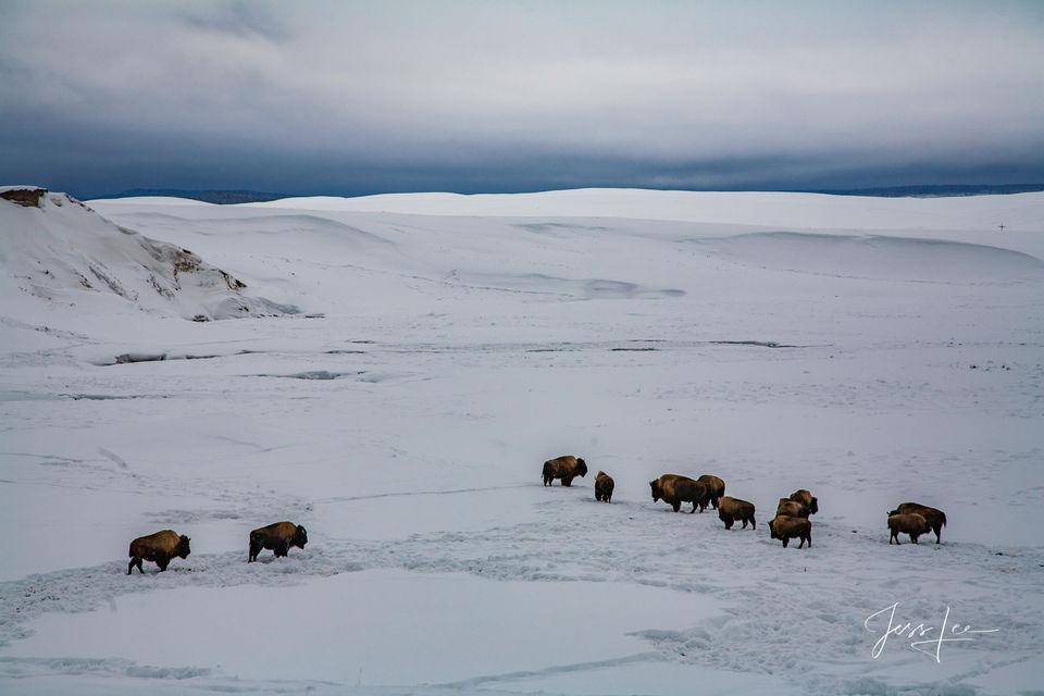 Buffalo Herd in Yellowstone Winter
