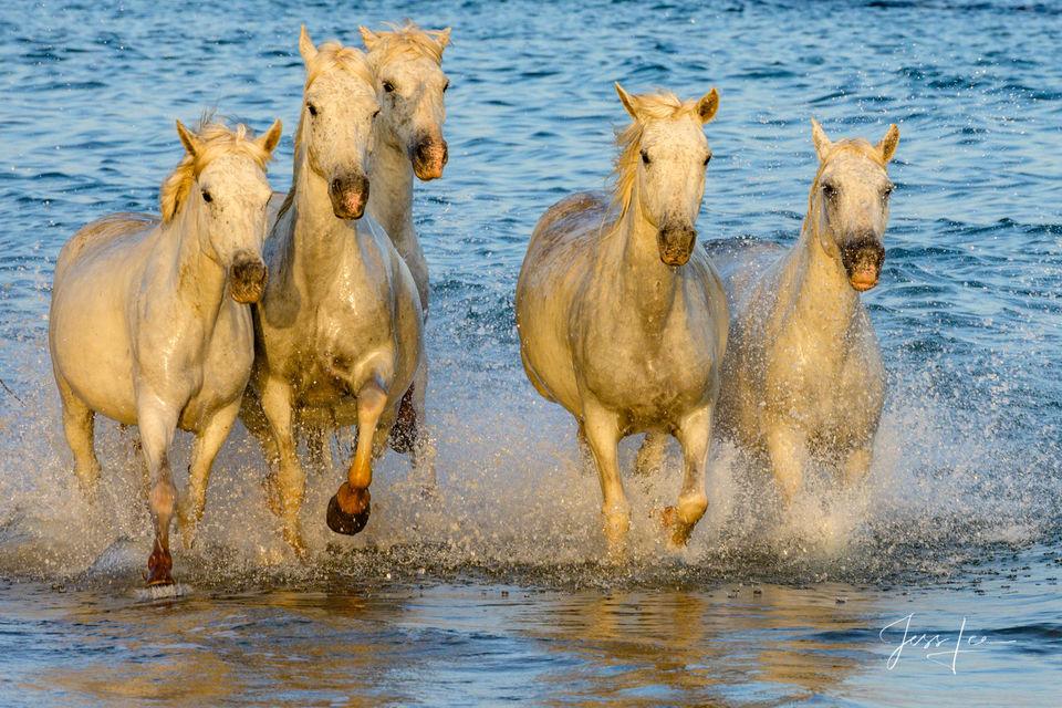 white, horses, water, running,