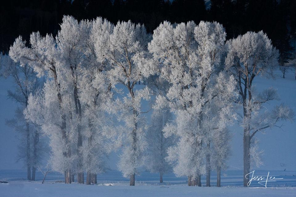 Yellowstone Photo of Frosty Cottonwood trees at minus 43