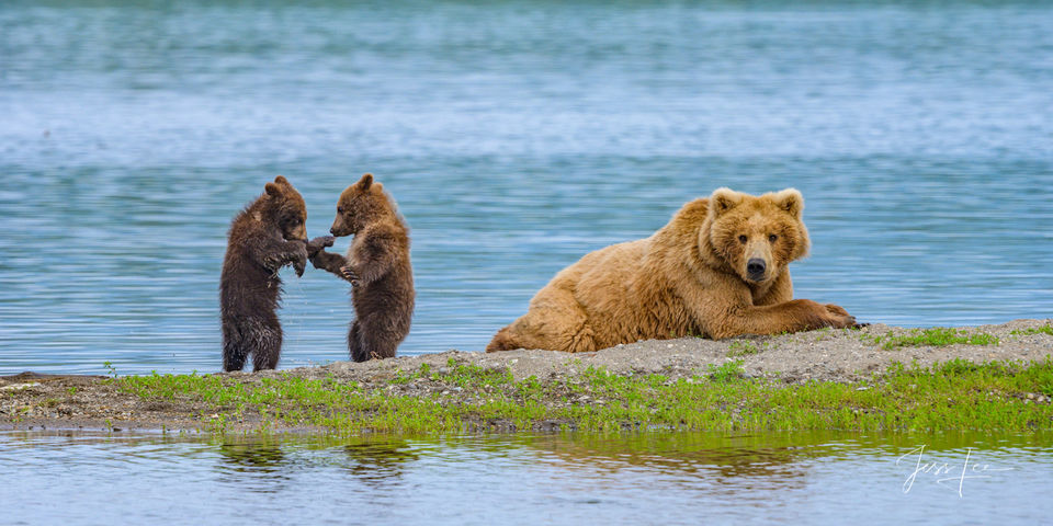 Brown / Grizzly bear cubs fighting