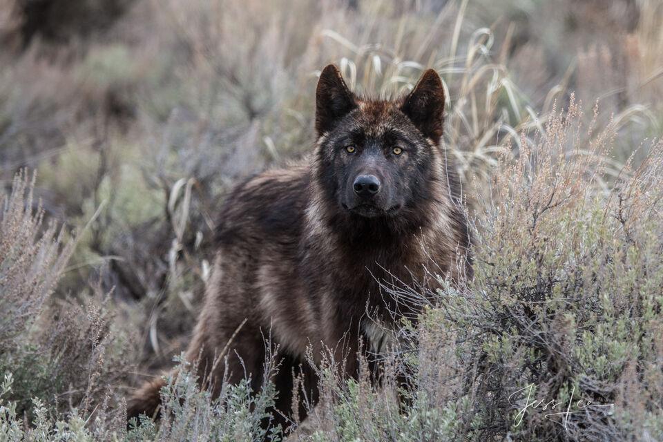 Last of the Druids, Yellowstone Wild Wolf Photograph.