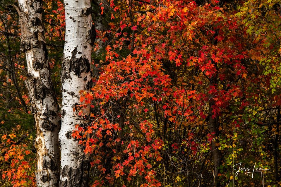 Flaming Birch Trees