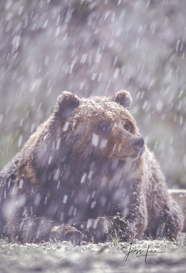 Grizzly, national park, bear, Yellowstone, snow, fine art, winter,