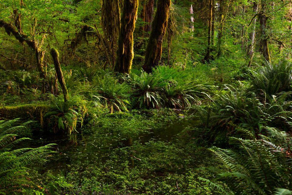 Pacific Northwest Hoe Rainforest large Format Print,