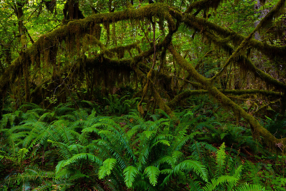 Hoe Rainforest Olympic National Park Washington,