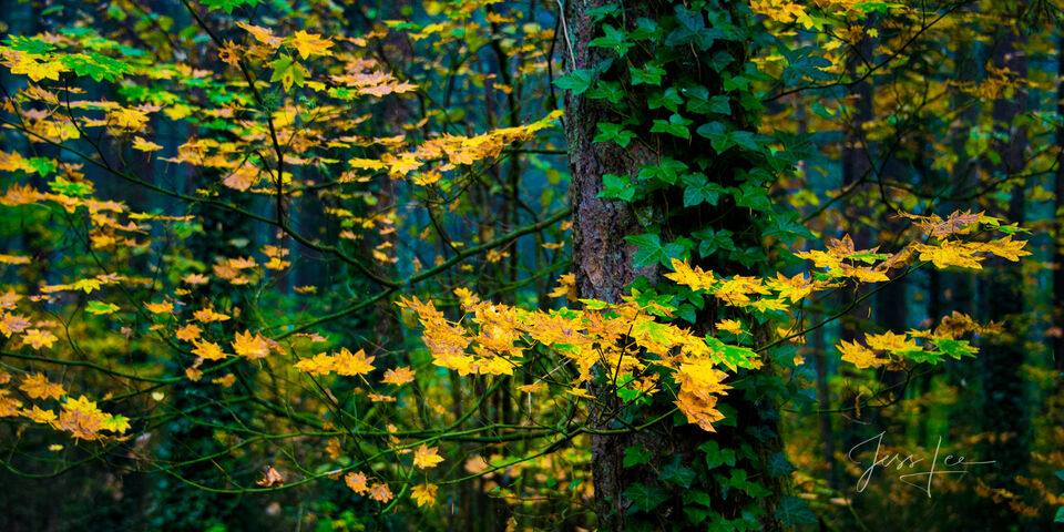 Green and Gold Tree leaves, Autumn, Color,  fall leaves, green and gold, Pacific Northwest, PNW, evergreen trees, moss, fine art prints, Washington state, nature, wilderness photography