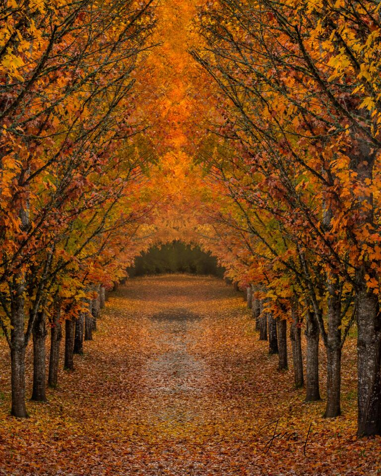 Tree lined driveway with autumn leaves, Autumn, Color, road, country road, trees,