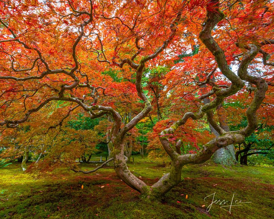 Fames of Fall   Japanese Maple