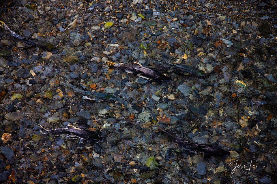 Salmon spawning in an Alaskan stream.