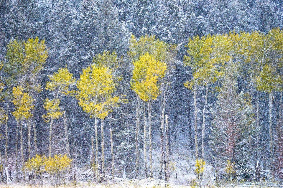 Aspen trees on the edge of the Pine forest in a brief fall snowstorm photography.