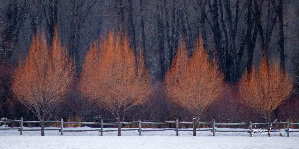 Photograph of Flaming willows used as a landscape decoration to add color to the long winter season in Jackson Hole WyomingWyoming, photo, trees, mountains, jackson hole, western,  grand teton, jackso