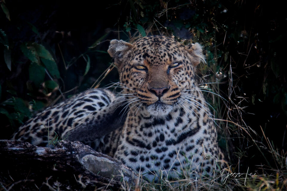 Photos of Leopards and Tigers