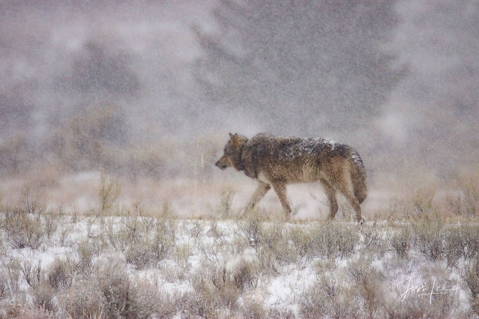 Wolf, gray, grey, winter, wolves, yellowstone, landscape photography, Large format, quality, museum, fine art, print, jess lee, artist, western, cowboy, photographer, limited edition, high quality, hi