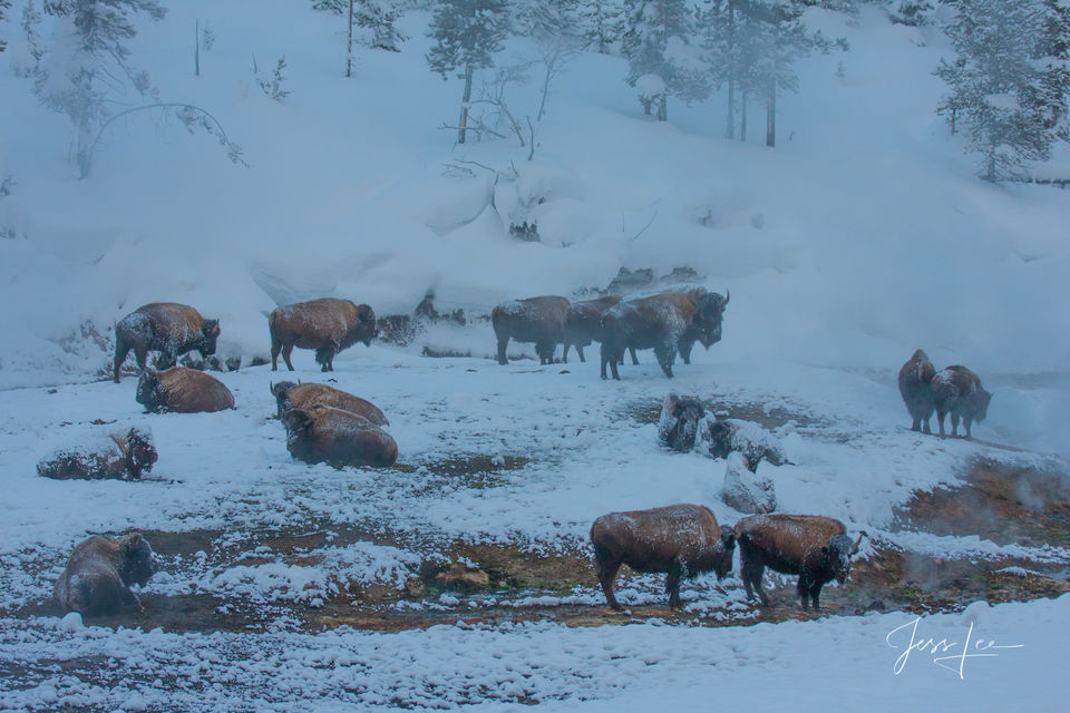 Bison in Winter ice and frost