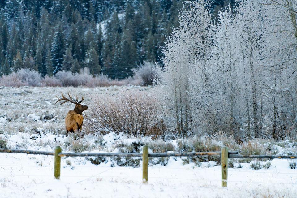 Teton Elk in Winter