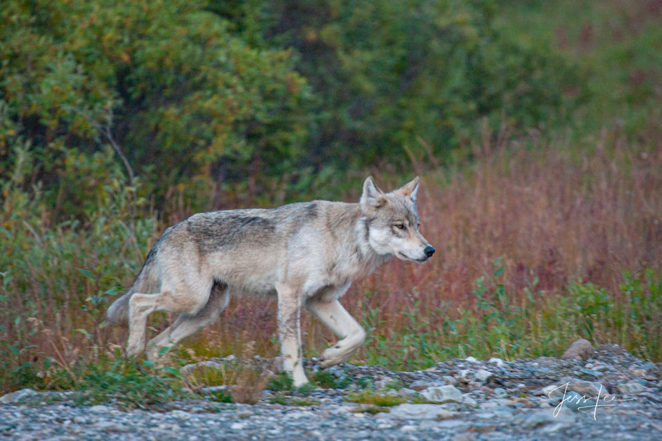 Alaska, high quality, prints, landscape, wolf, moose, , photograph, picture, print, collectable, wolves, wold, pack, wolf photographs