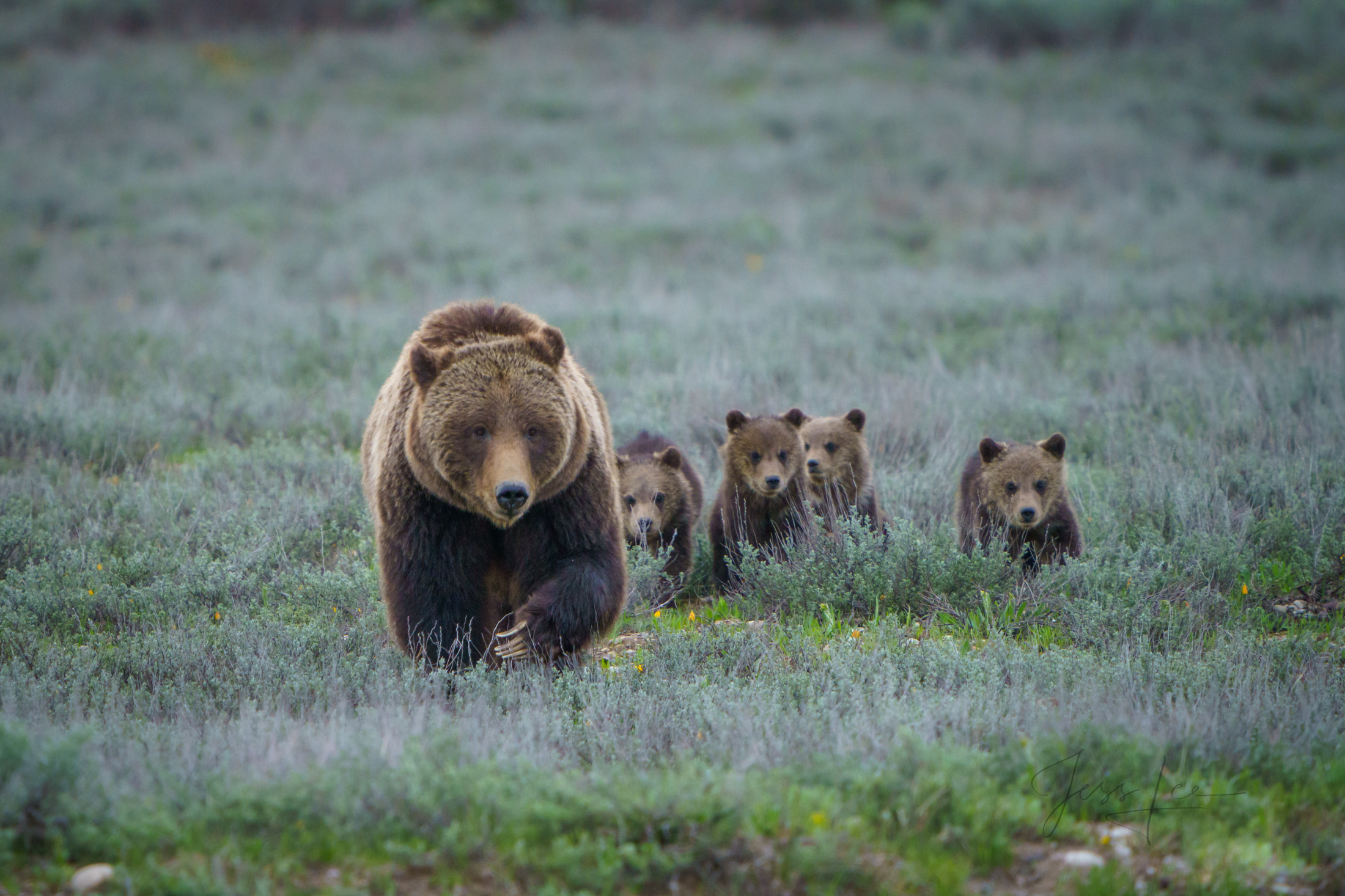 399, grizzly, Grand Teton, bear, cubs, , Grizzly Bear Photograph, Grizzly bear picture, Grizzly bear print, photo