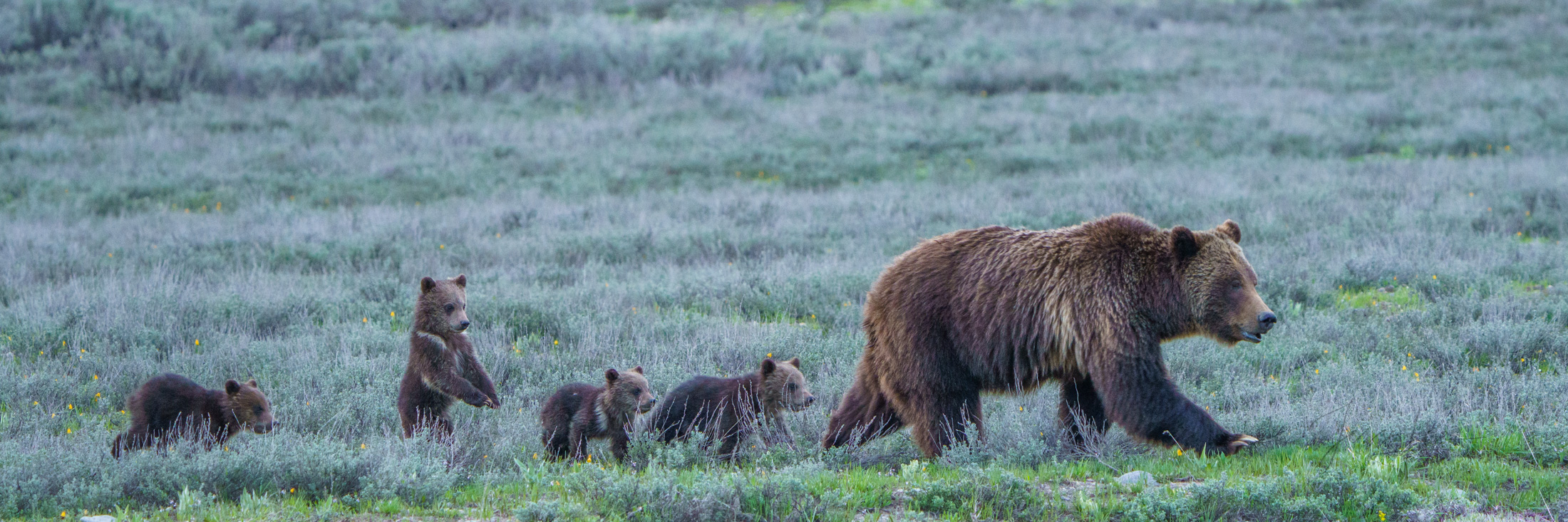 Grand Teton famous Grizzly bear 399 and four cubs.