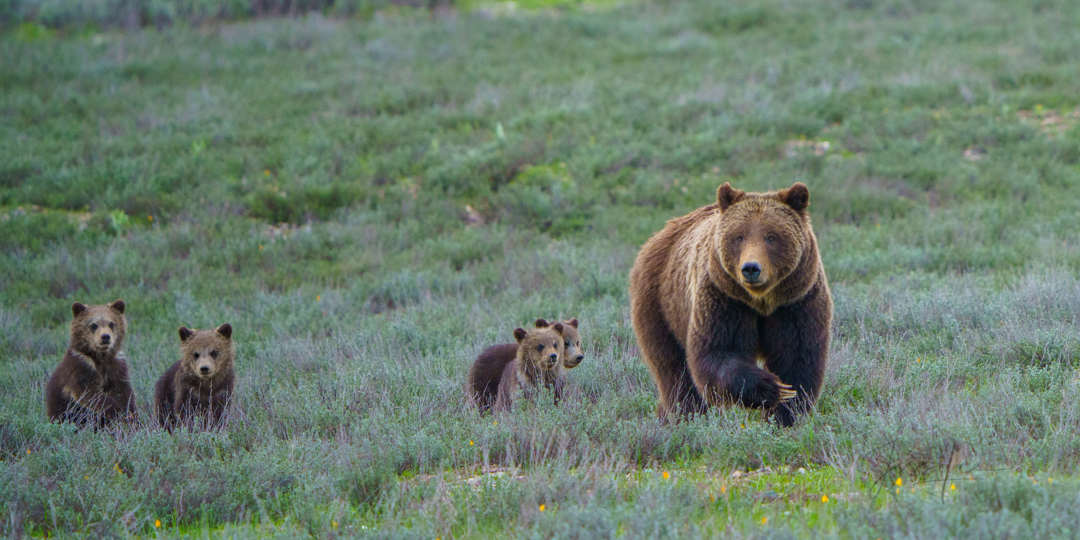 Grand Teton Grizzly 399 hunting with her spring cubs a limited edition of 500 prints.