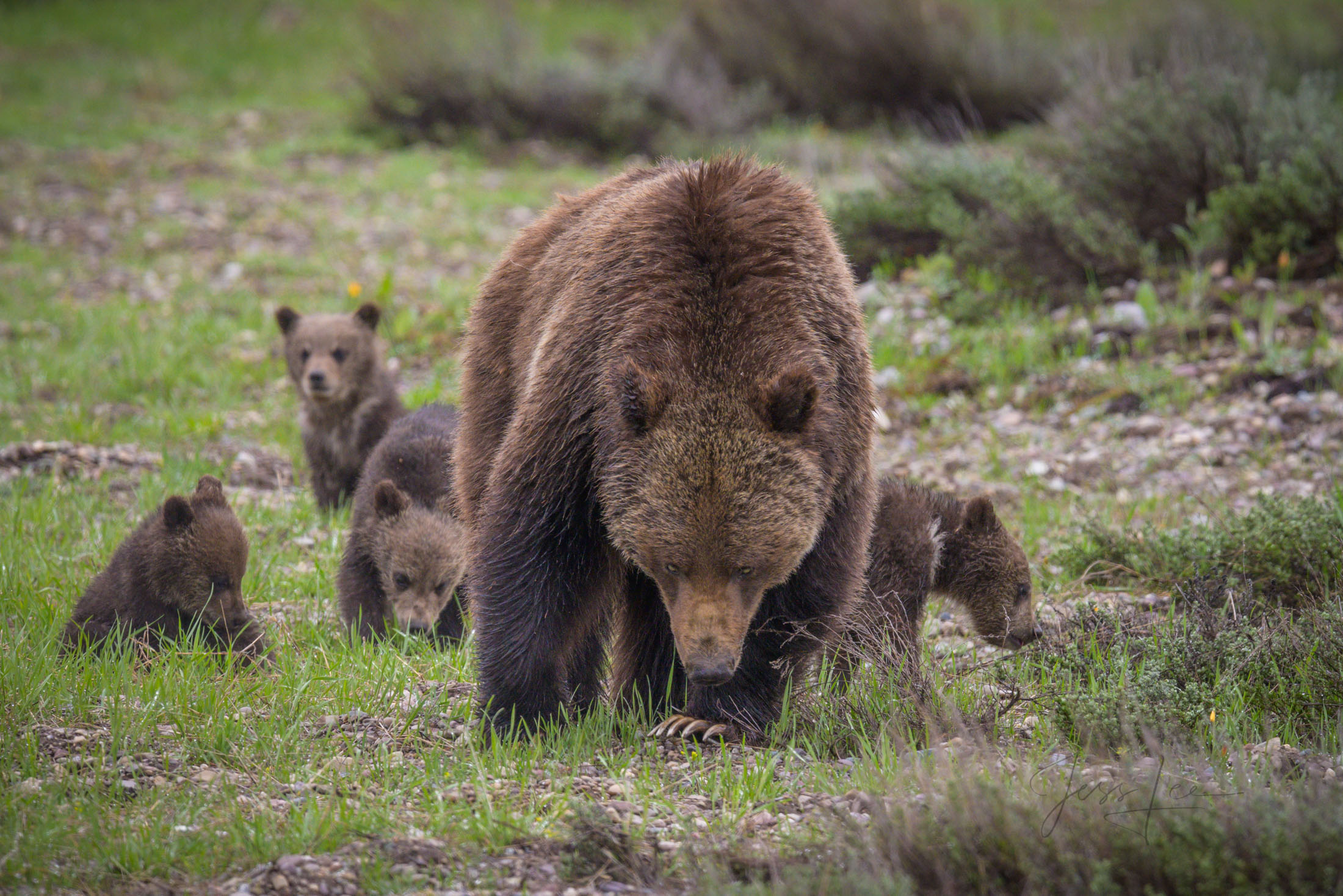 Grizzly 399 with four cubs from Grand Teton National Park is skillfully watching photographers.