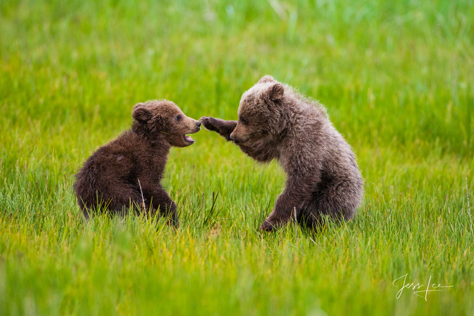 Alaska Grizzly Cubs Playing, Limited edition of 800 prints. These Grizzly bear fine art wildlife photographs are offered as high...