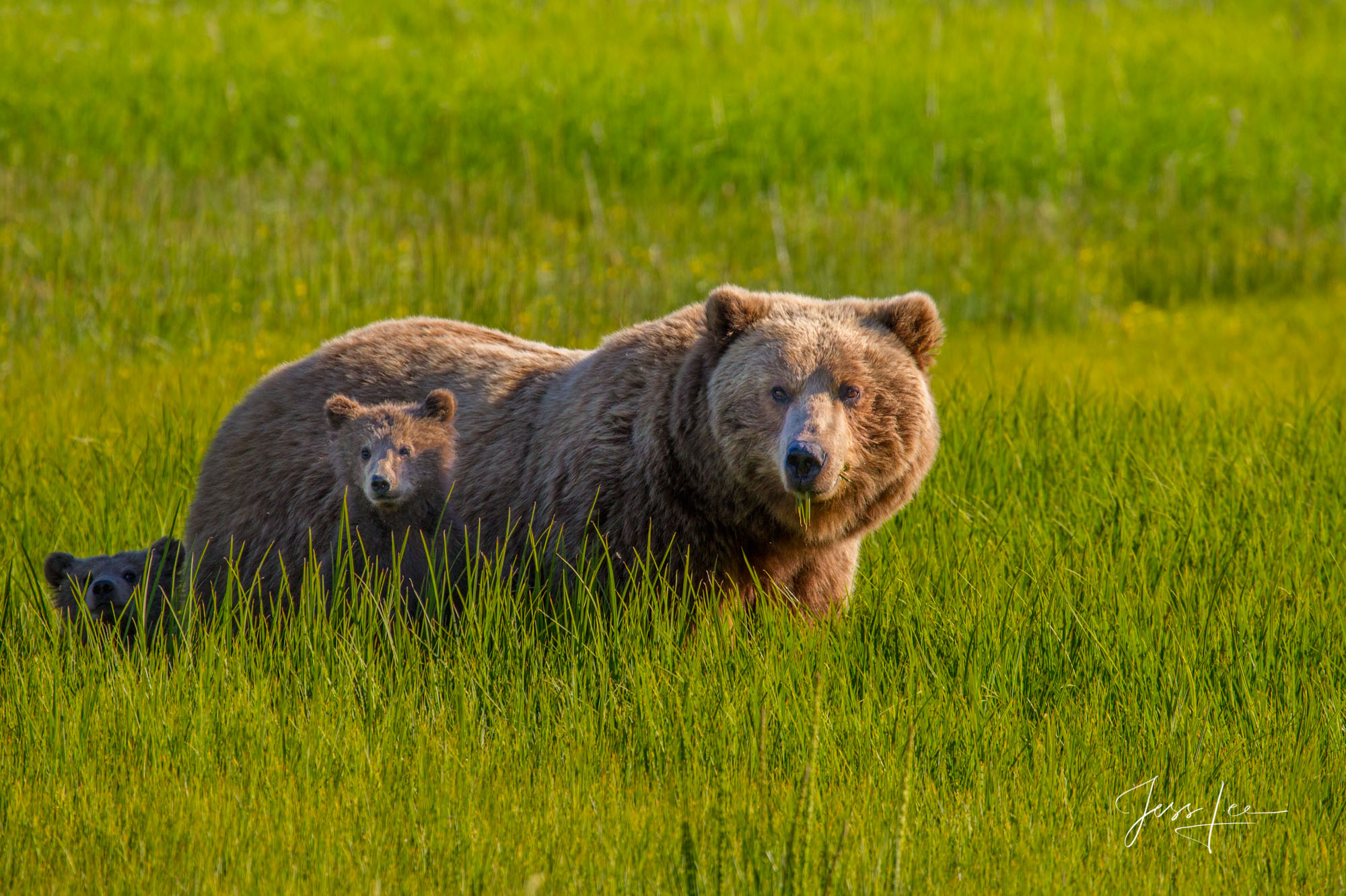 Alaska*, bear*, brown bear*, brown bears*, brown*, coastal*, cubs*, grizzlies*, Grizzly*, Jess Lee*, Cooke inlet, legendary photographer*, national park*, sow*, wildlife*, wildlife photographer*, photo