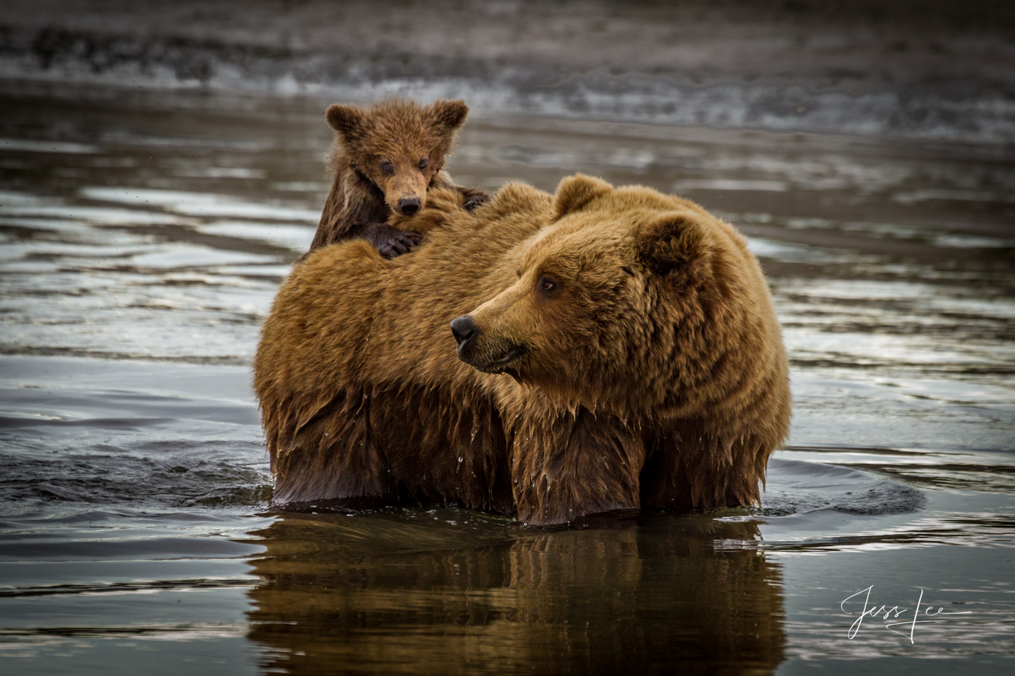 Grizzly cub hitching a ride,Alaska*, bear*, brown bear*, brown bears*, brown*, coastal*, cubs*, grizzlies*, Grizzly*, Jess Lee*, Cooke inlet, legendary photographer*, national park*, sow*, wildlife*, , photo
