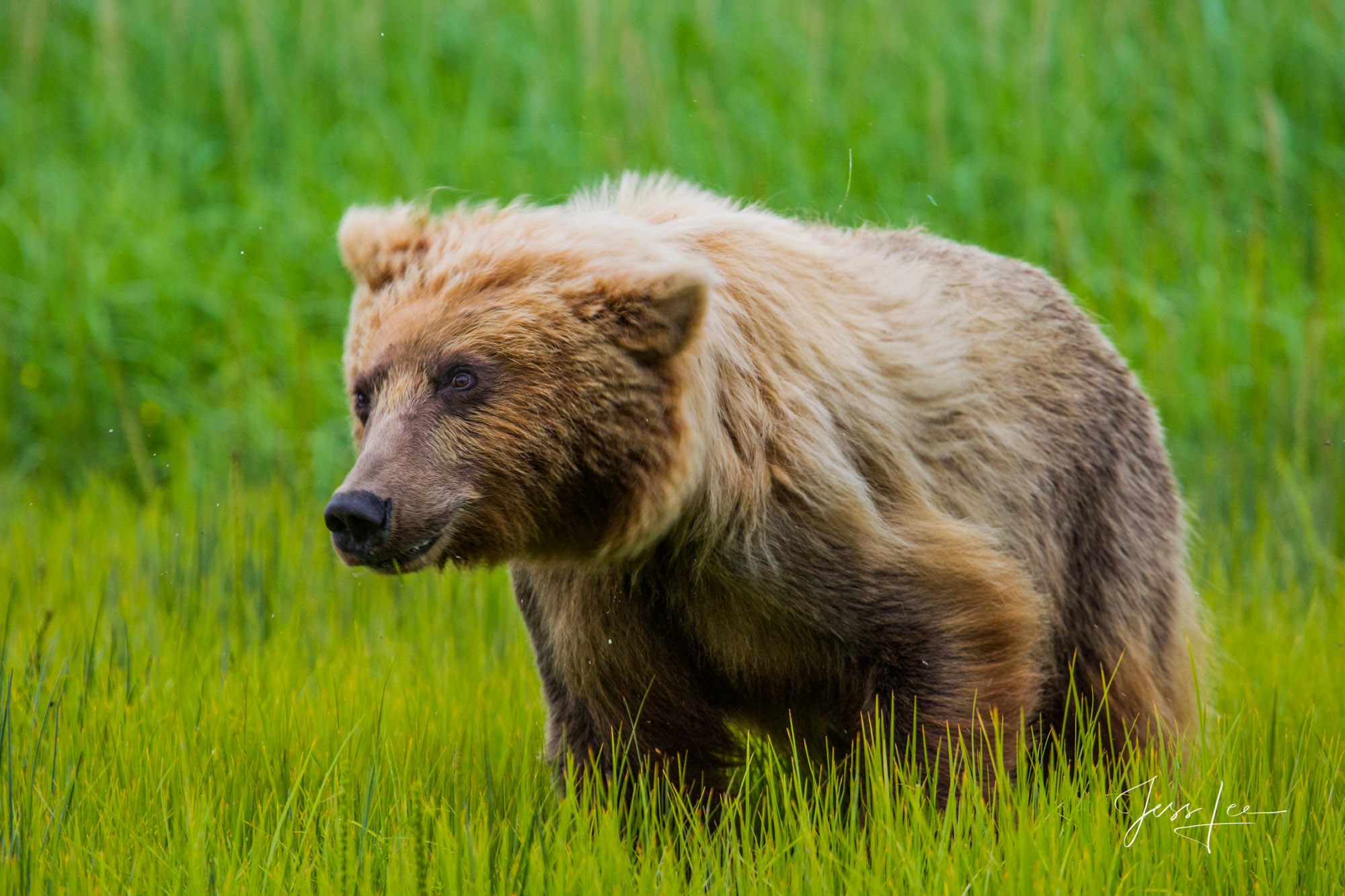 Alaska*, bear*, brown bear*, brown bears*, brown*, coastal*, cubs*, grizzlies*, Grizzly*, Jess Lee*, Cooke inlet, legendary photographer*, national park*, sow*, wildlife*, wildlife photographer*, Griz, photo
