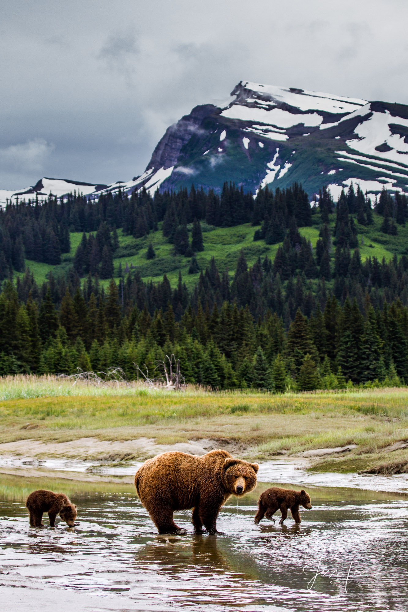 Alaska*, bear*, brown bear*, brown bears*, brown*, coastal*, cubs*, grizzlies*, Grizzly*, Jess Lee*, Cooke inlet, legendary photographer*, national park*, sow*, wildlife*, wildlife photographer*, Griz, photo