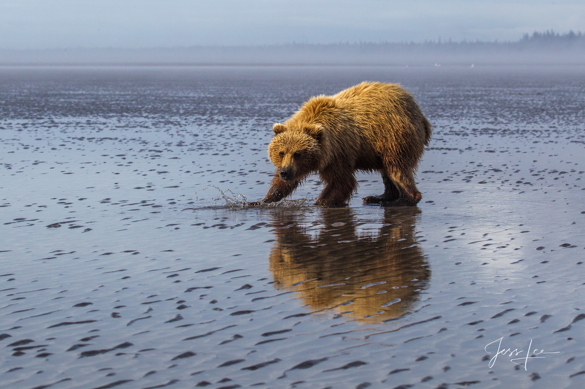 Alaska Grizzly Clamming at Lake Clark, Limited edition of 800 prints. These Grizzly bear fine art wildlife photographs are offered...