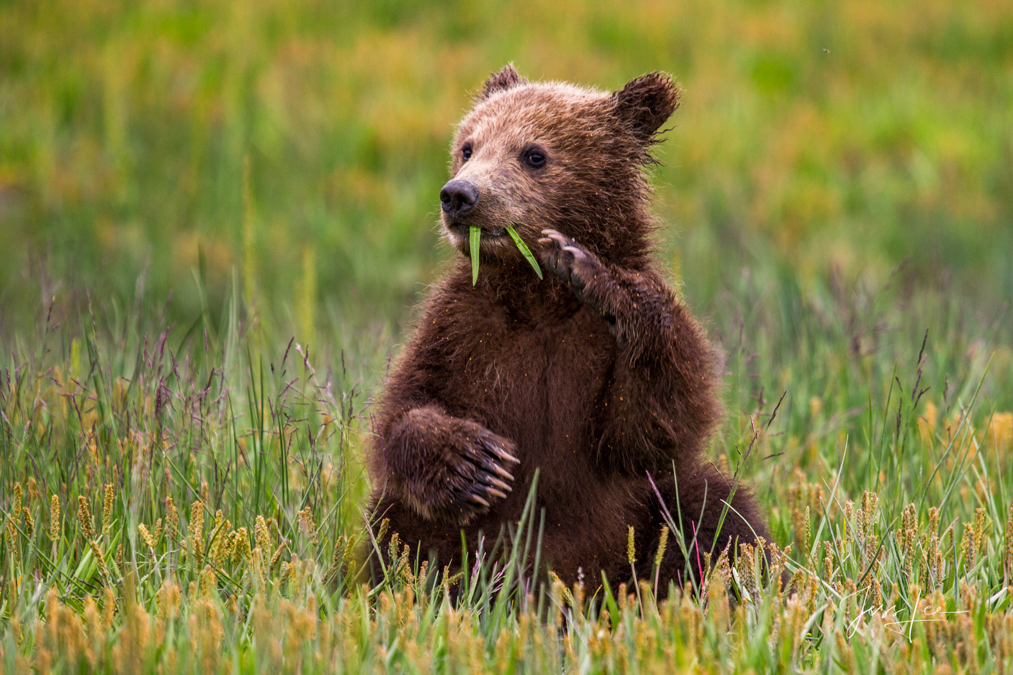 Grizzly cub setting up eating grass, a Limited edition of 800 prints. These Grizzly bear fine art wildlife photographs are offered...