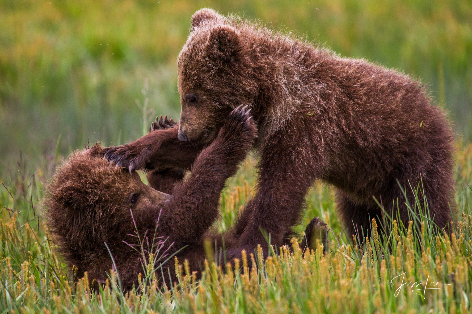 Alaska Grizzly Cubs wrestling a Limited edition of 800 prints. These Grizzly bear fine art wildlife photographs are offered as...
