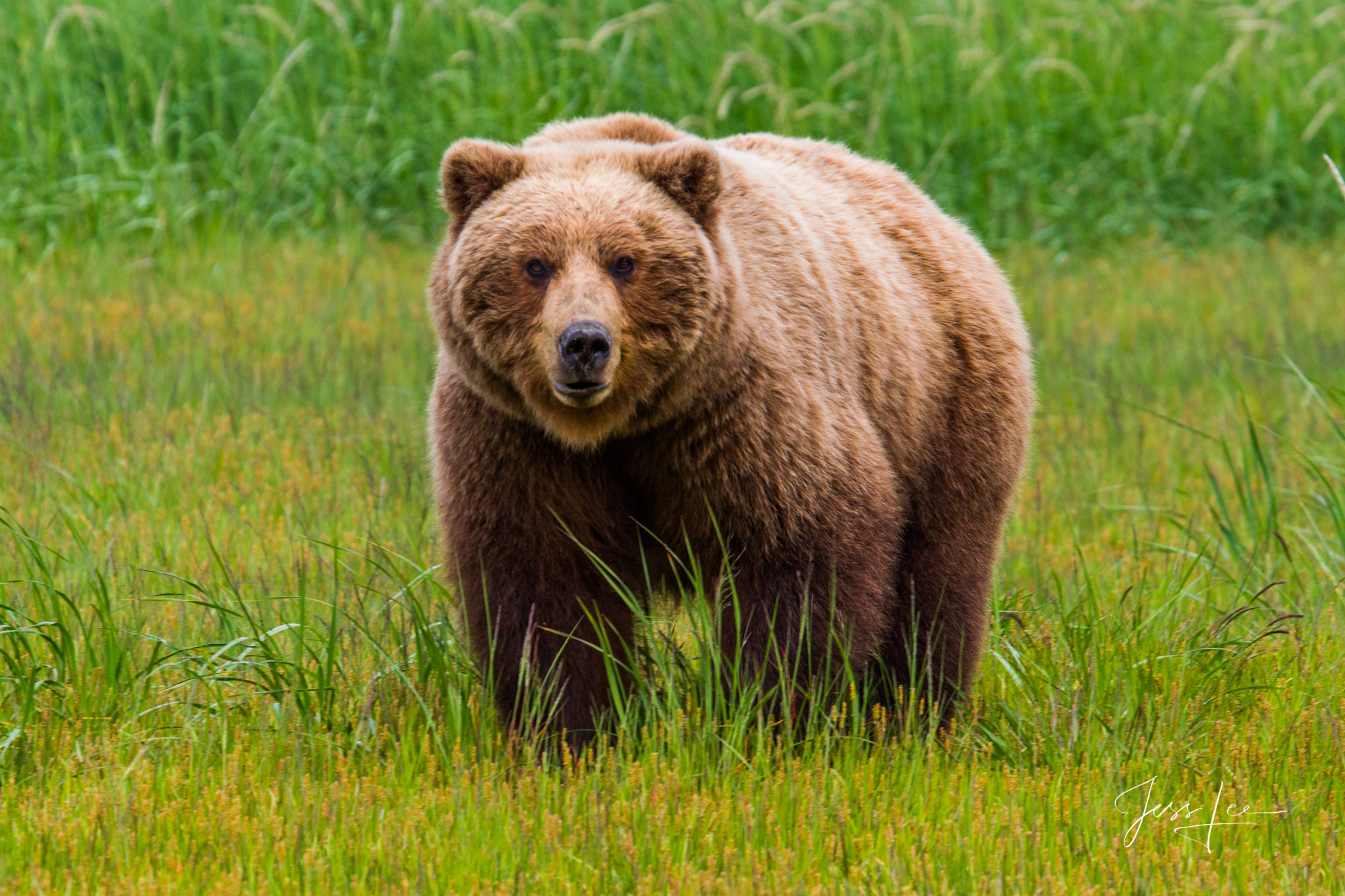Alaska Grizzlys, Cubs, Moms, Bores, Limited edition of 800 prints. These Grizzly bear fine art wildlife photographs are offered...