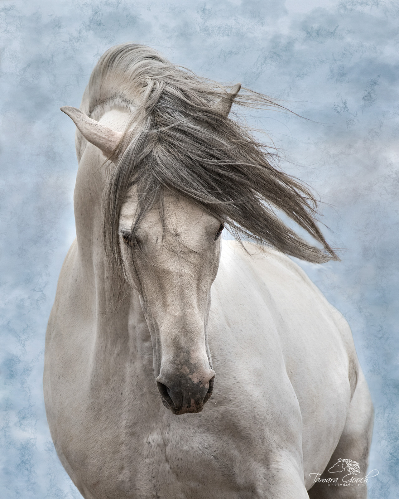 A photo of a grey andalusian stallion against a blue sky.