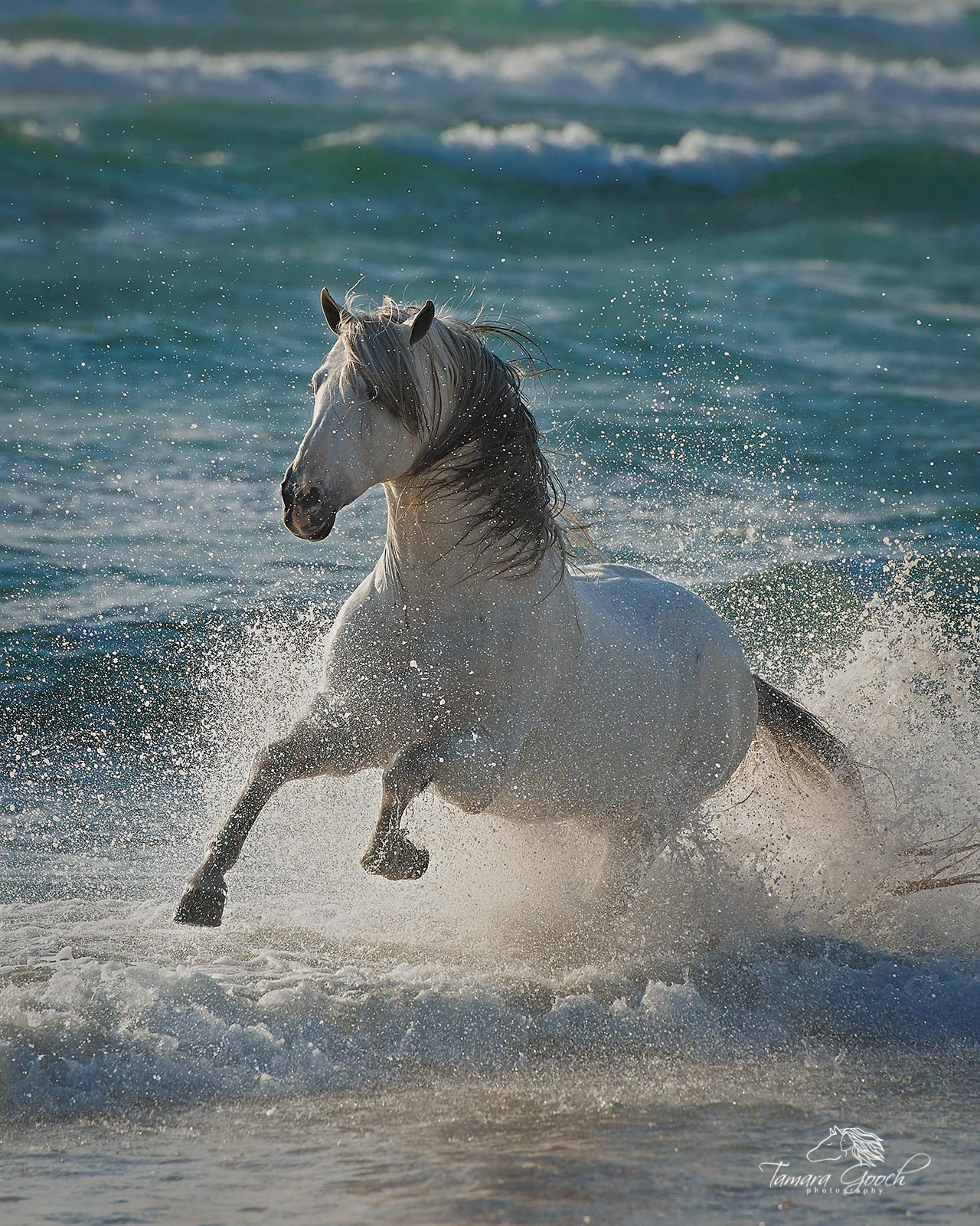 A photo of an andalusian, PRE stallion at liberty in the ocean of Mexico.