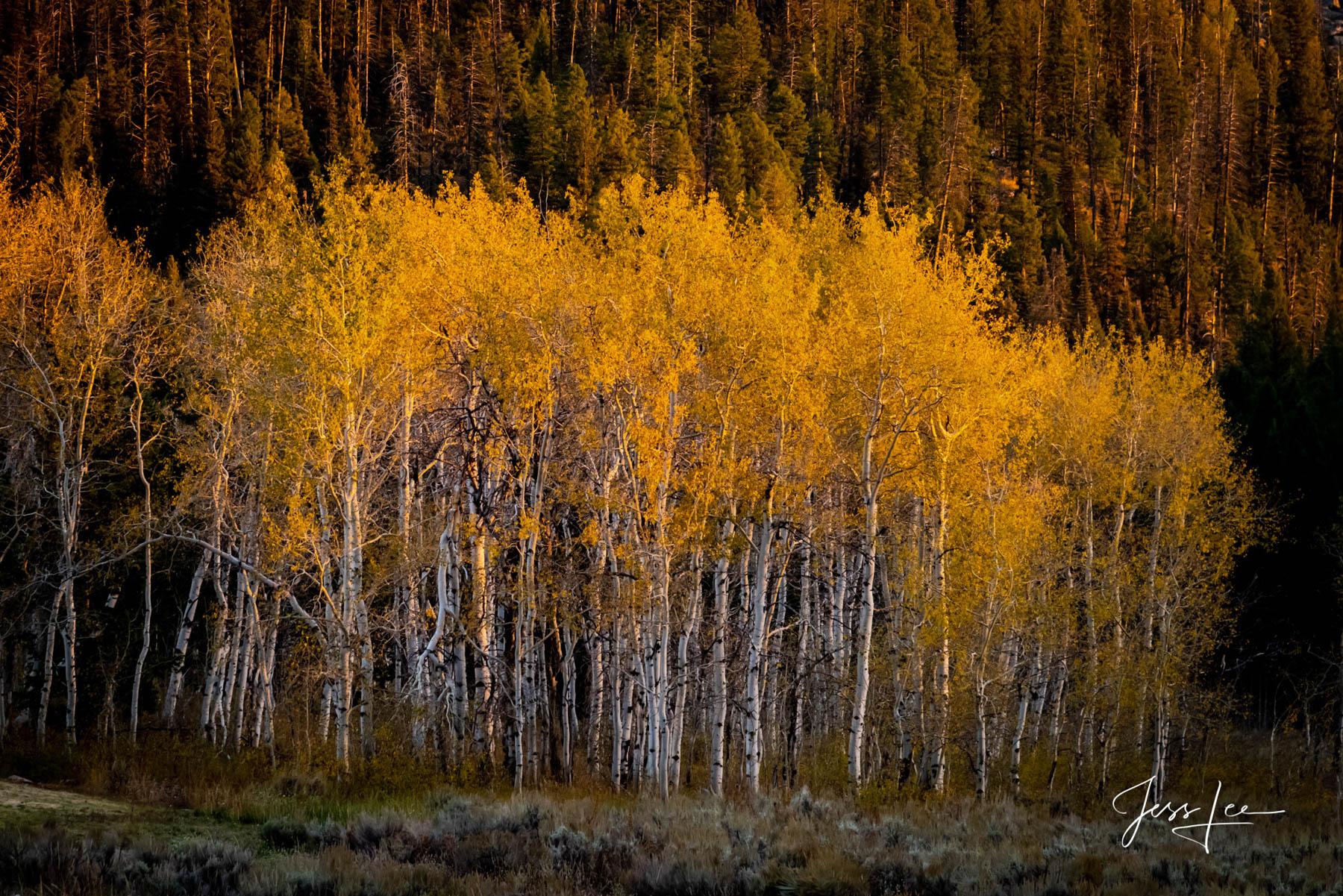 Aspen trees in autumn light., photo