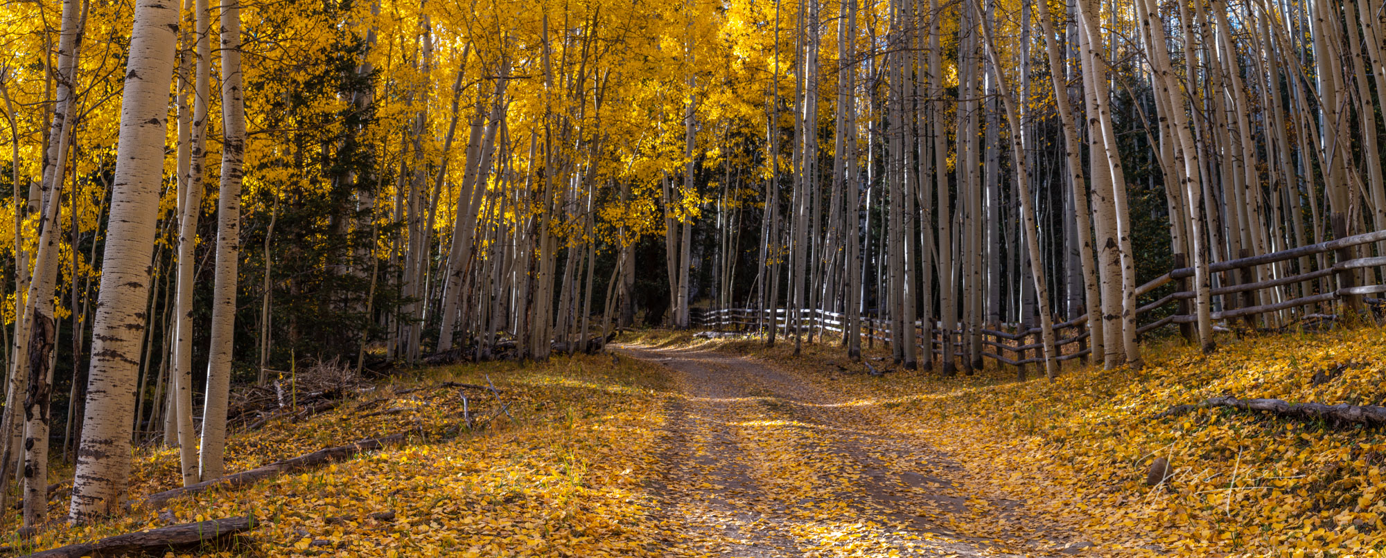 A Colorado Fall Color Photography Print of an Aspen leaf covered road, taken during the peak of Autumn Color in southwest Colorado...