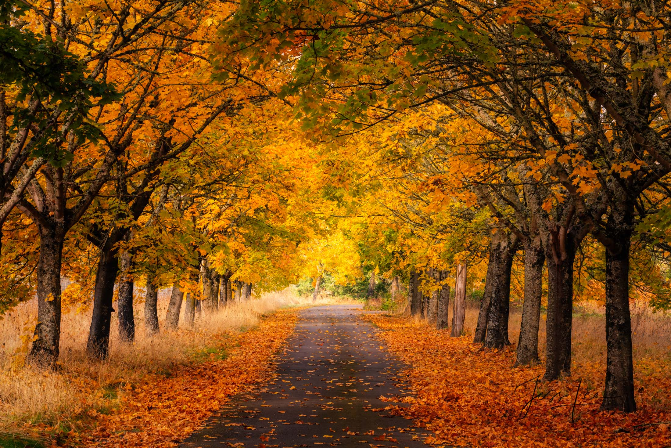 Fine Art landscape Limited Edition of 200 prints   A sublime tree lined country road in central Oregon where the autumn leaves...
