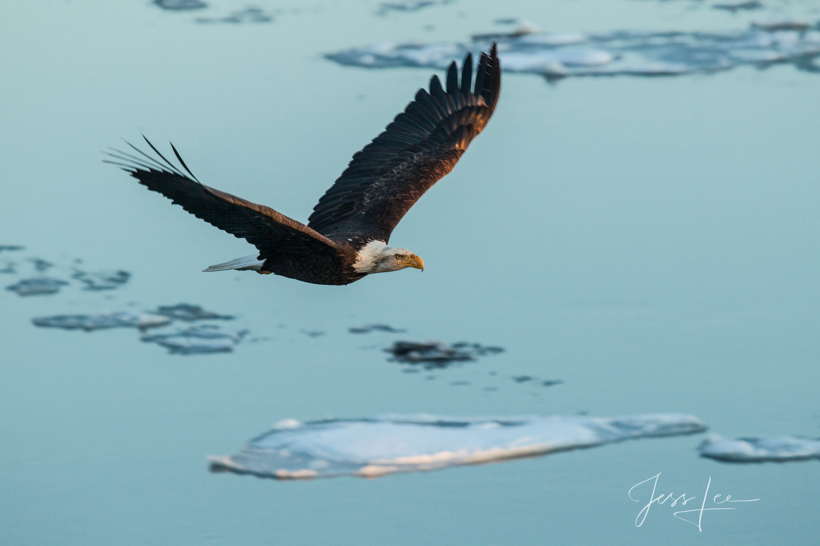 Bring home the power and beauty of the amazing fine art American Bald Eagle photograph Over the Ice by Jess Lee from his Wildlife...