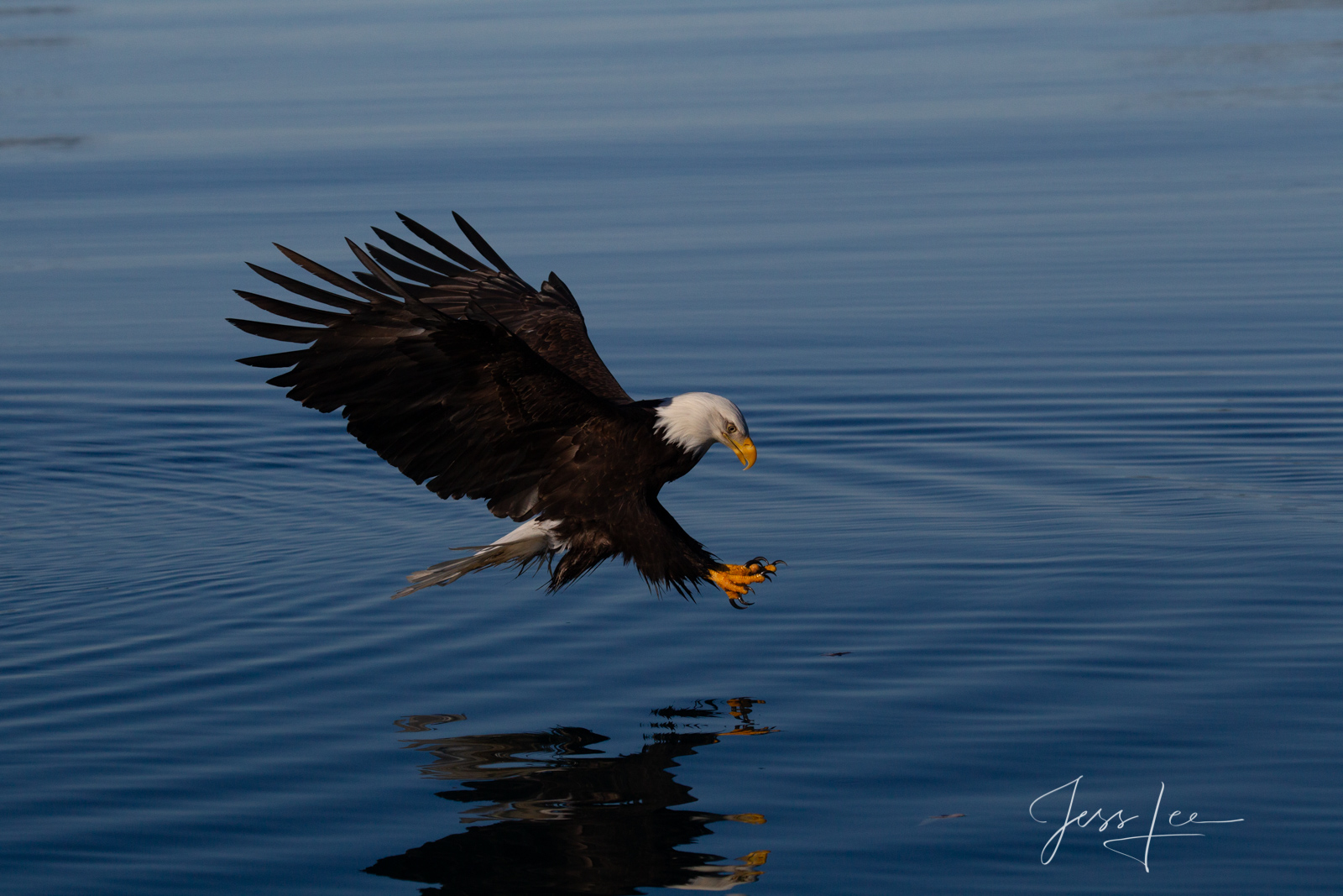 Bring home the power and beauty of the amazing fine art American Bald Eagle photograph On Target by Jess Lee from his Wildlife...