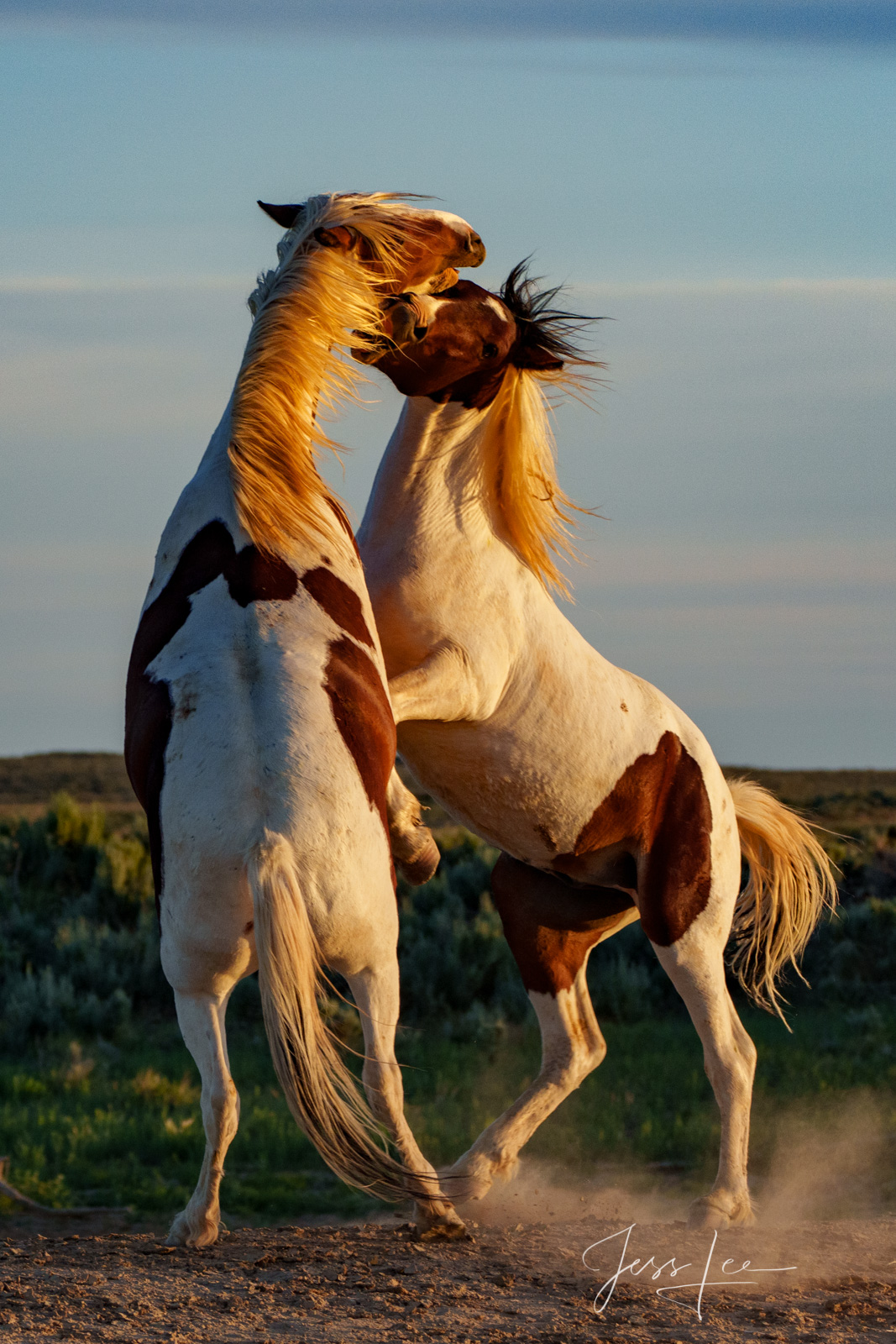 Fine Art Limited Edition Photography of Wild Herd of Mustang Horses. Wild Horses or Mustang paints fighting . This is part of...