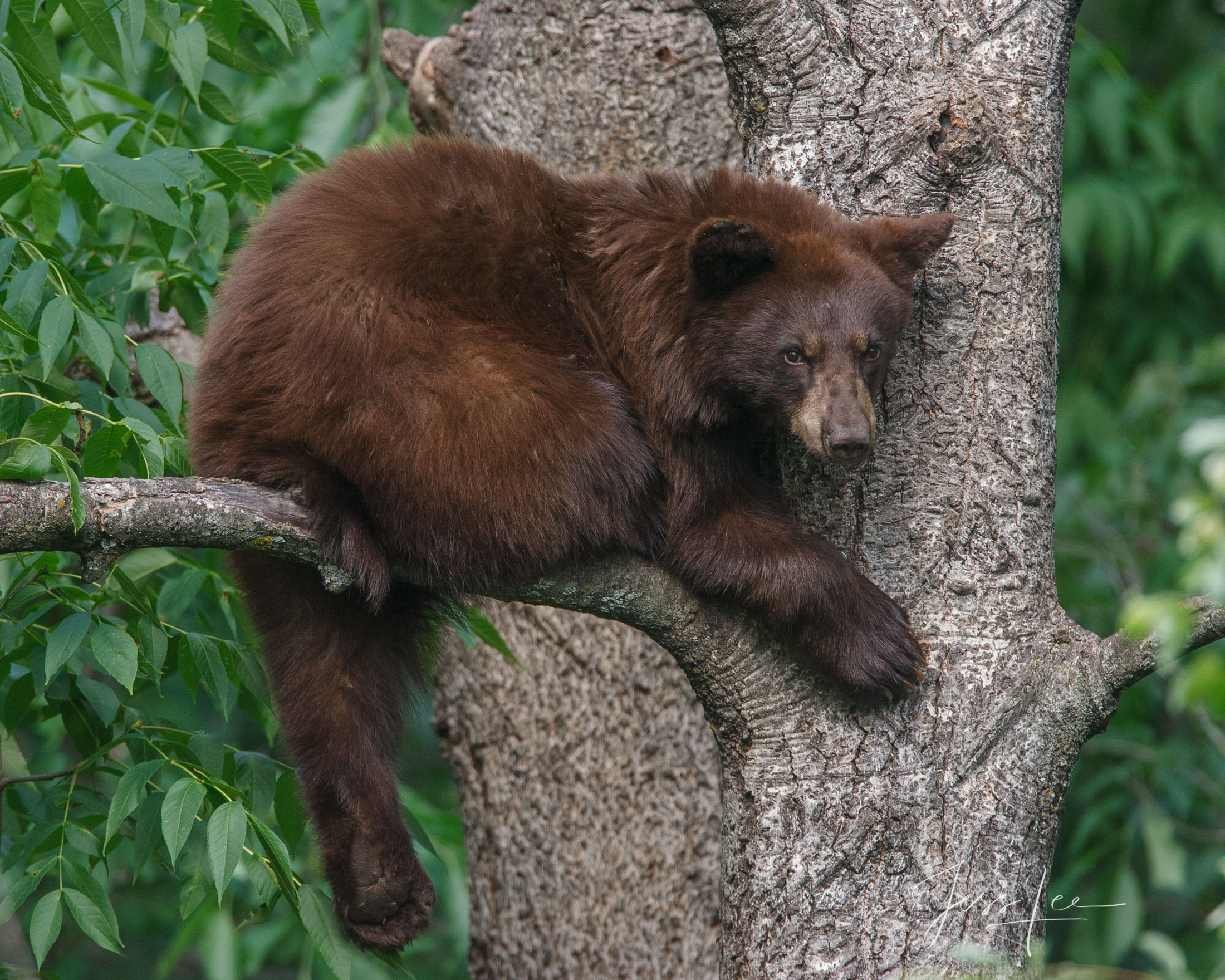 Grumpy Black Bear in a tree Photo  Limited Edition Picture of 100 prints. These bear photographs are offered as high-quality...