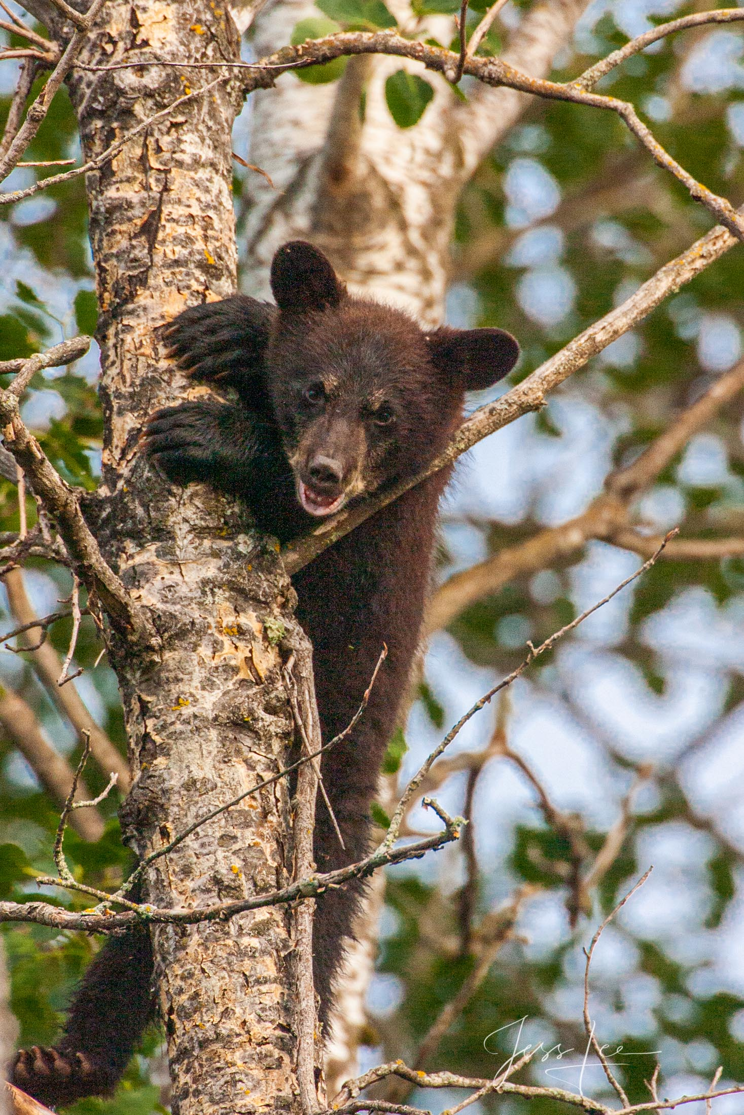 Black Bear in tree Photo  Limited Edition Picture These bear photographs are offered as high-quality prints for sale as created...