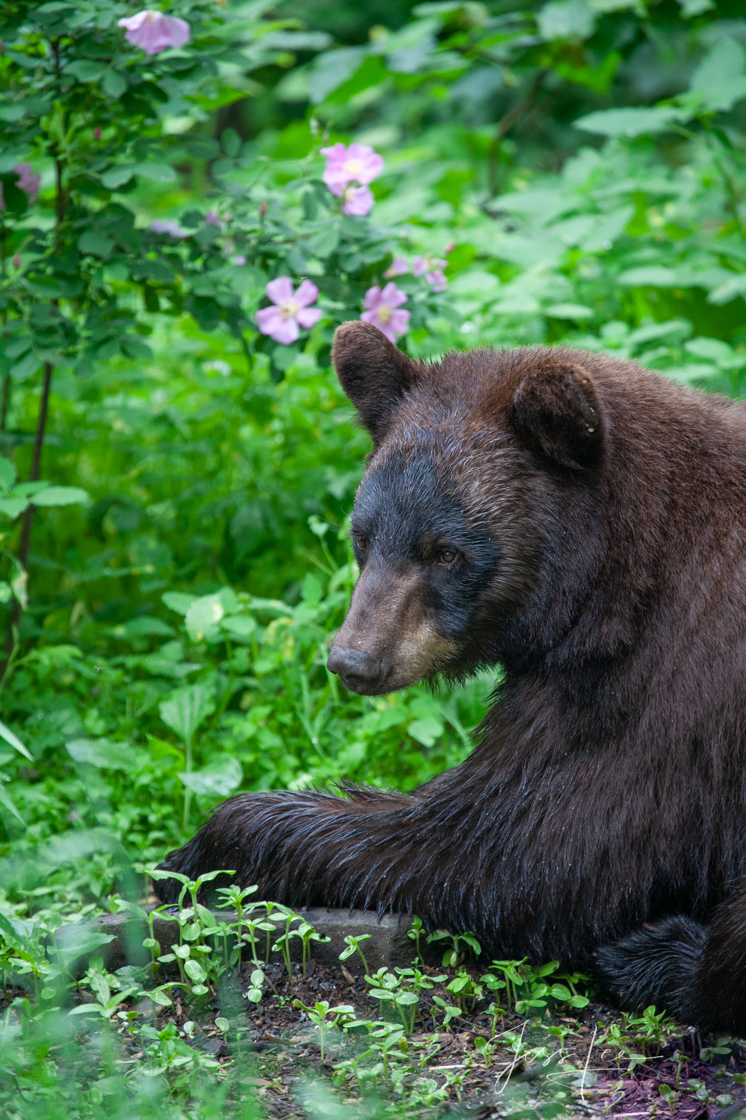 Black Bear cub Photo  Limited Edition Picture These bear photographs are offered as high-quality prints for sale as created by...