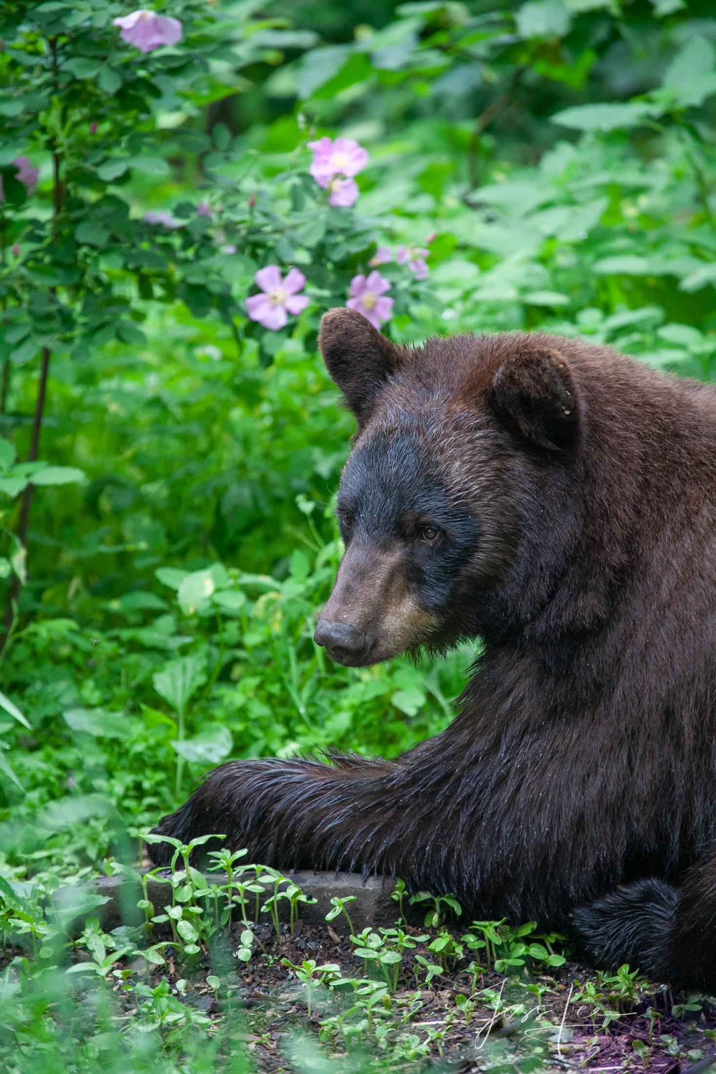Black bear, Ursus americanus, North America , Picture, photo