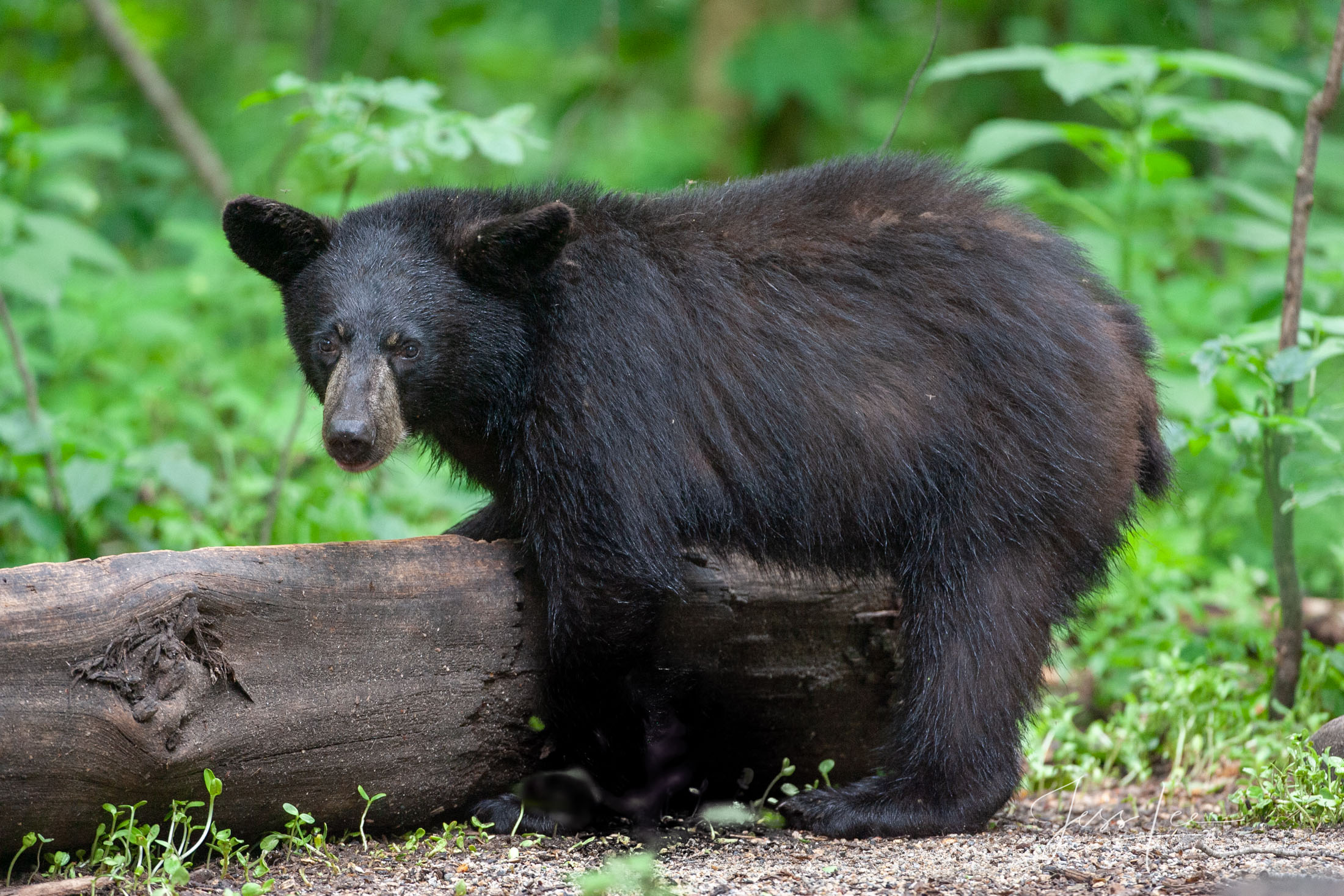 Black Bear, Fat Boy, Limited Edition of 100 prints. These bear photographs are offered as high-quality prints for sale as created...