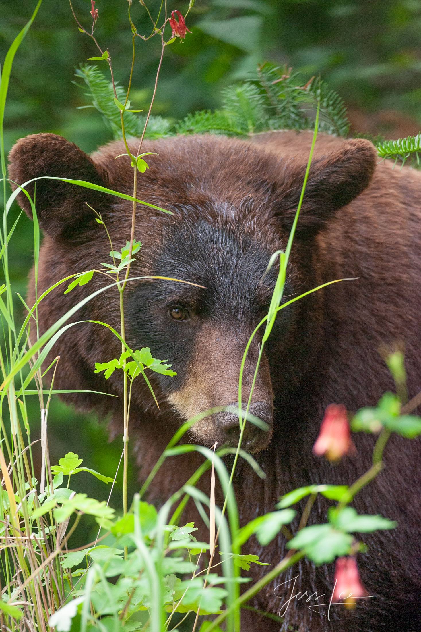 Black Bear #4 Photo  Limited Edition Fine Art Print of 100 These bear photographs are offered as high-quality prints for sale...